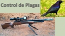 Control de plagas (tordos) - rifle PCP Daystate huntsman regal HR Cal 22.