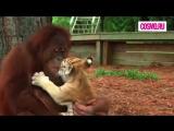 Орангутанг и тигрята