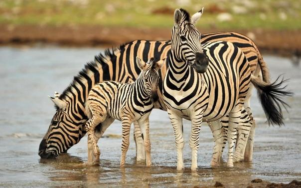 Почему зебры не были одомашнены Во многих отношениях зебры очень похожи на лошадей (или, скорее, пони, учитывая их размеры). Тем не менее различия в их поведении привели к тому, что в то время