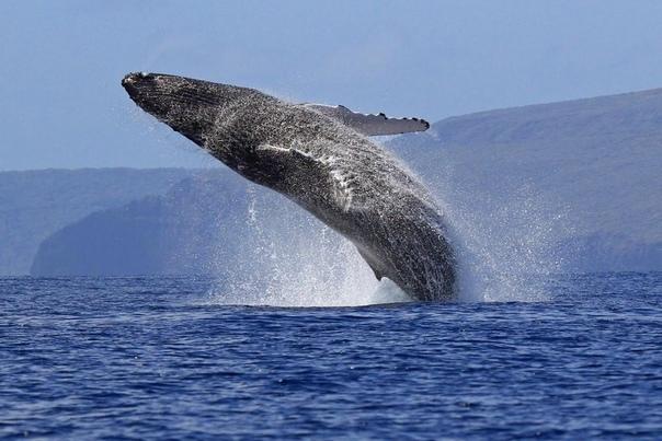 Разница между китом и кашалотом Кит и кашалот братья, если не родные, то двоюродные точно. Они относятся к одному биологическому отряду китообразных. А вот дальше их таксономические пути-дорожки