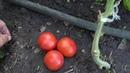 Опыт выращивания помидора сорта СИБИРСКИЙ СКОРОСПЕЛЫЙ в открытом грунте