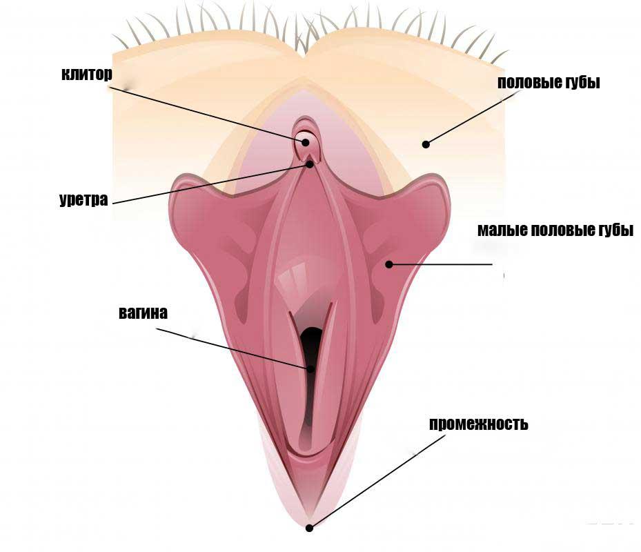 Половые губы включают опускание внутренних половых губ или малых половых губ.