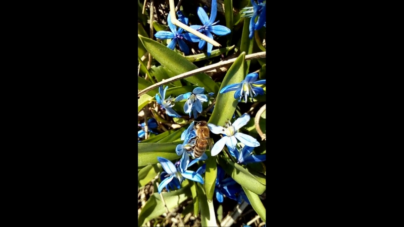 Пчела на пролиске