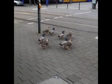 Утки переходят дорогу на зеленый свет