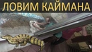 Ловим беременную самку крокодилового каймана!