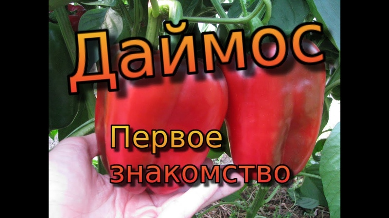 Сладкий перец Даймос - первое знакомство. Крупноплодный перец - Даймос.