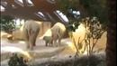 Слоненок оступился и упал. Реакция родителей
