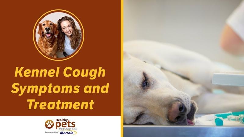 Питомниковый кашель: симптомы и лечение / Kennel Cough Symptoms and Treatment