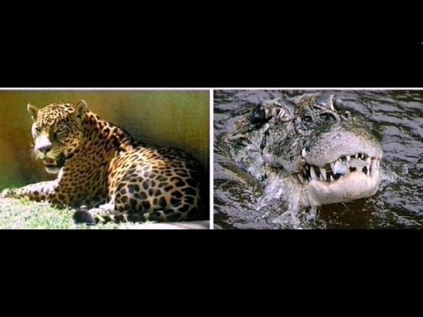Чёрный кайман убивает ягуара, Black Caiman kills Jaguar