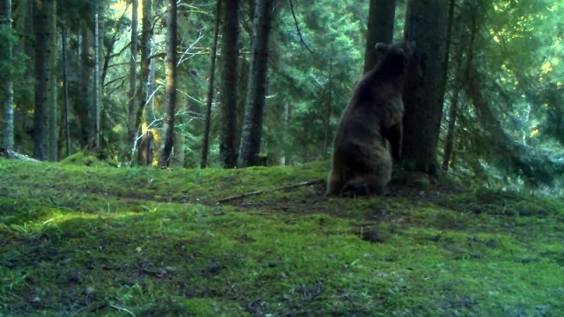 მურა დათვი ბორჯომ ხარაგაულის ეროვნული პარკში - Bear at Borjomi-Kharagauli National Park