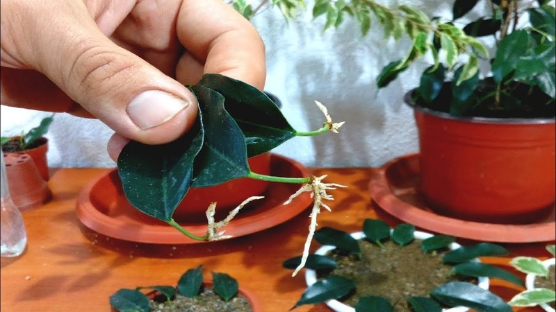 How to grow Ficus Benjamina from single leaf