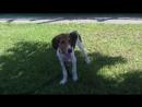Пёс Тотоша и гончий друг Lucky