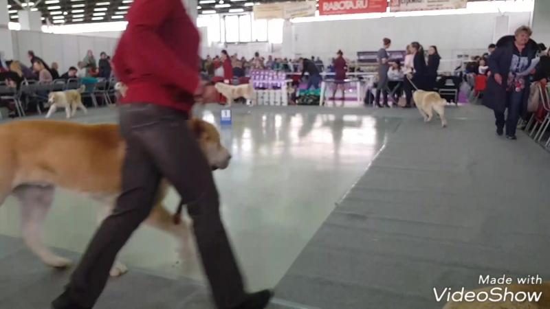 МИРХАН (Тимерташ Тимерхан Могучий) на выскавке тренировка до начала ринга www.timertash.ru
