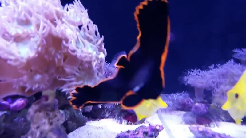 Platax_pinnatus молодой рыба свободное плавание