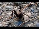Беспощадные муравьи убийцы Макро Ants life 🐜16
