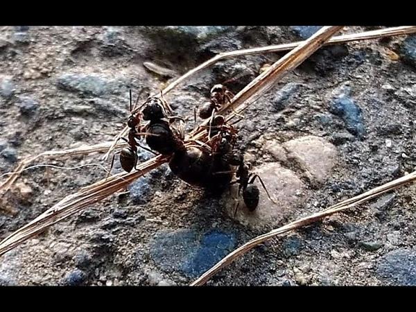 Беспощадные муравьи убийцы. Макро. Ants life 🐜16