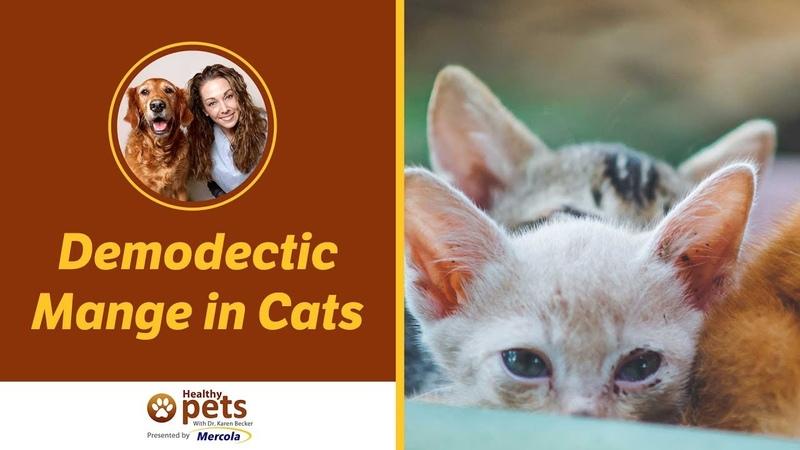 Демодекоз у кошек / Demodectic Mange in Cats