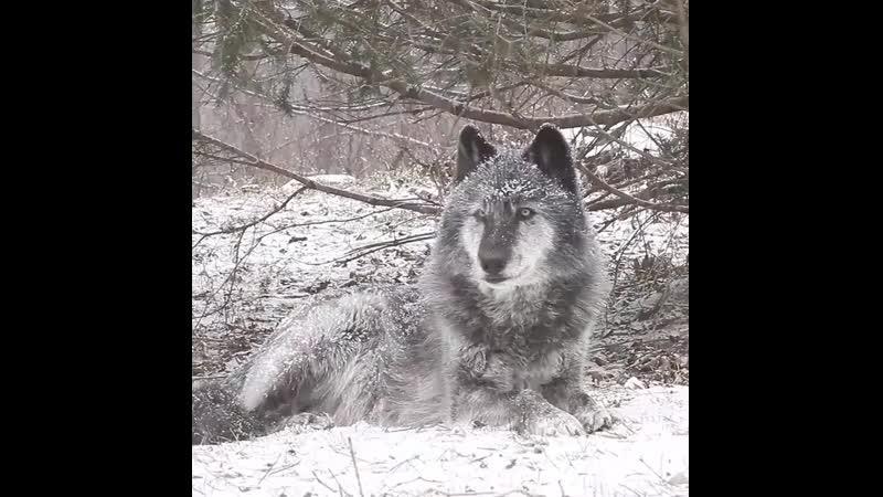 Волки_воют..mp4