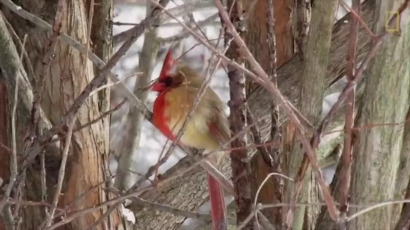 В Пенсильвании увидели уникального кардинала-химеру.