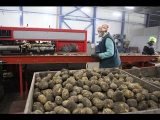Какой покупать картофель