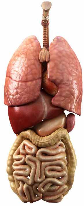 Органы дыхания и брюшной полости.