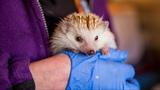 Animal Lover Turns Home Into Hedgehog Hospital