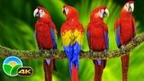 Colorful Macaw Parrots - Stunning Birds in 4K