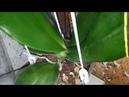 Phal Gigantea, David Lim 04.08.18 обзор