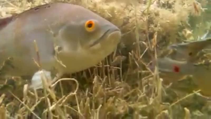 Видео Serkan Kez Астронотусы с мальком съемки в природе