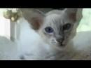Яванез Яванская кошка Javanese cat poroda koshek zabota scscscrp