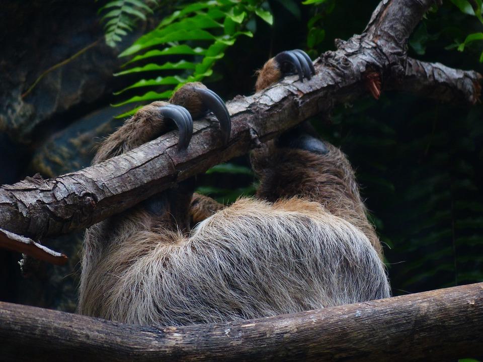 Внешний вид ленивца. Пальцы и когти