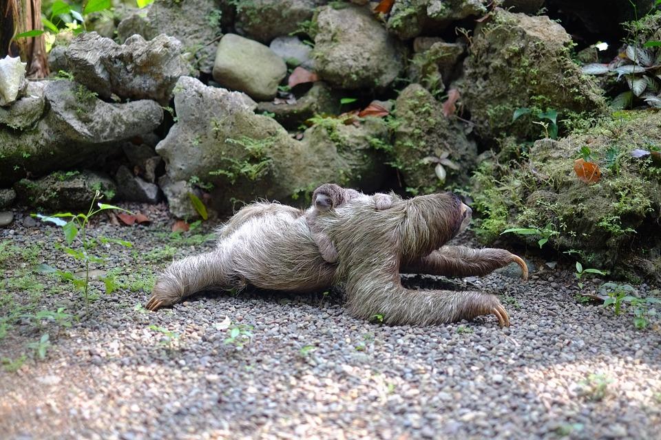 Размножение ленивцев. Мать с детенышем