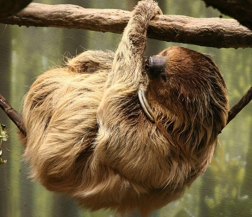 Ленивец. Сон на дереве