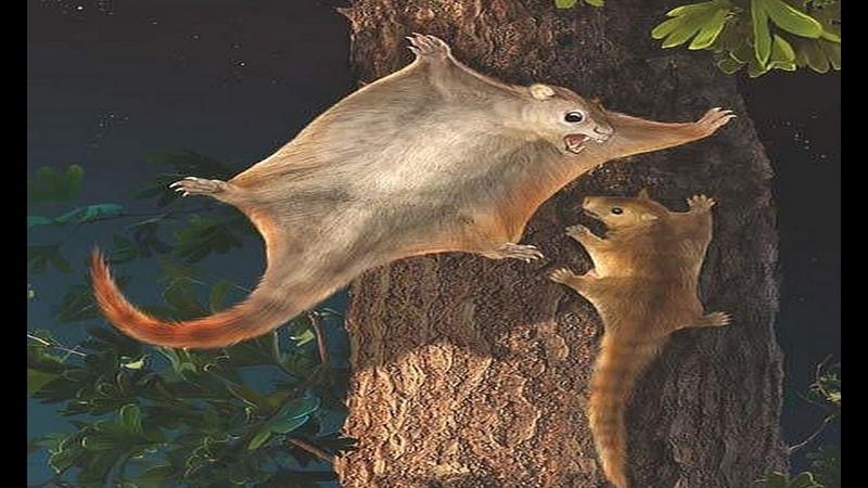 Flying squirrels (Pteromyini or Petauristini)