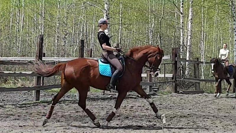 Моя любимая Астра 2013г.р. (Август - Сандра). Готовимся к СФО по выездке по молодым лошадям.