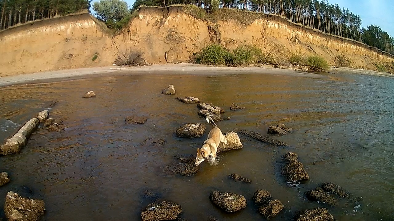 Тольятти, прибрежная полоса реки Волга, Россия. Пёс идёт по следам хозяина, ступая по воде, идя по камням, по тем же по которым шёл хозяин. Порода Норвежский чёрный элкхунд или норвежская чёрная лосиная лайка (норв. norsk elghund sort), — порода шпицеобразных охотничьих собак, выведенная в Норвегии, разновидность норвежского серого элкхунда, отличающаяся меньшим размером и окрасом, но имеющая собственный стандарт. Название происходит от elg (с норв.—«лось») и hund (с норв.—«собака»). Используется для охоты на лося и других копытных.