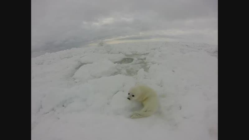 Белек тюленя на льдине в Белом море