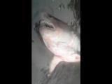 В реке Кама поймали акулу.
