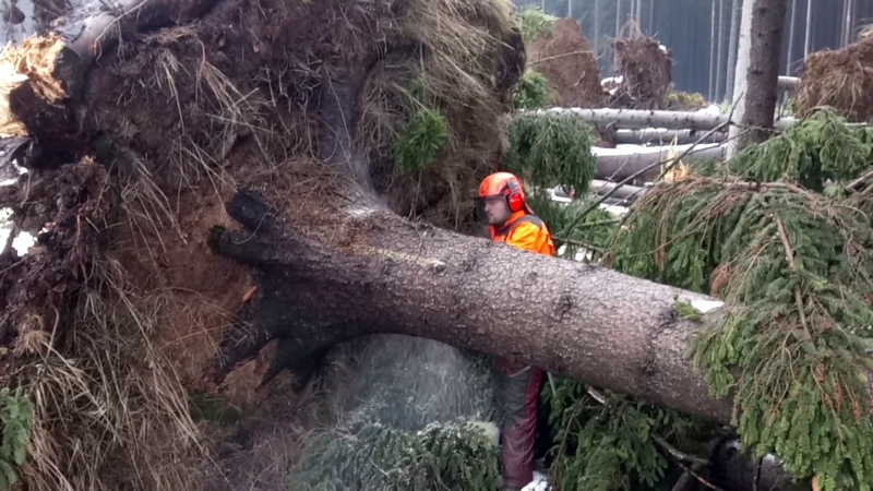 Husqvarna 572XP Chainsaw Extremely cutting the reversed tree by the orc!