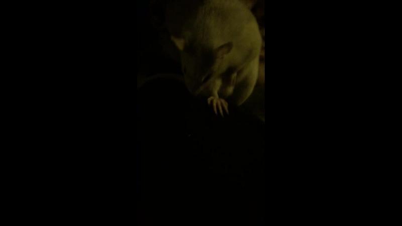 Моя крыса моет яички 🐀