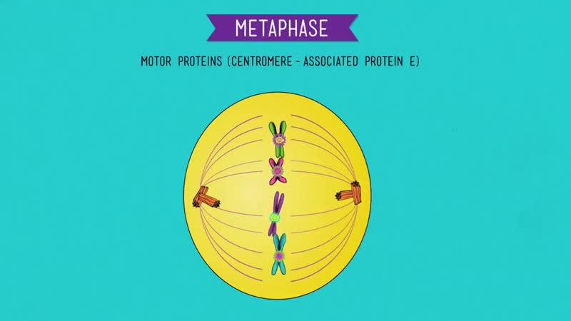 Mitosis_ Splitting Up is Complicated - Crash Course Biology 12