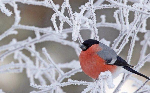 Почему снегири прилетают именно на зиму и куда улетают весной