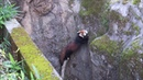 モートから脱出するレッサーパンダ Red Panda cab escaped from moat