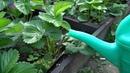 Клубника Что нужно для большого урожая