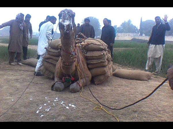 Khan SHAHSHI KHAN FROM DADYAAL AJK camel weight lifting 34 man