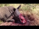 18 Rhino Euthanized after Poachers Hacked off its Face! NOT FOR SENSITIVE VIEWERS, Kruger National Park