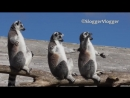 Лемуры-солнцееды
