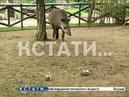 Травоядная гадалка - тапир из нижегородского зоопарка определила чемпиона мира по футболу