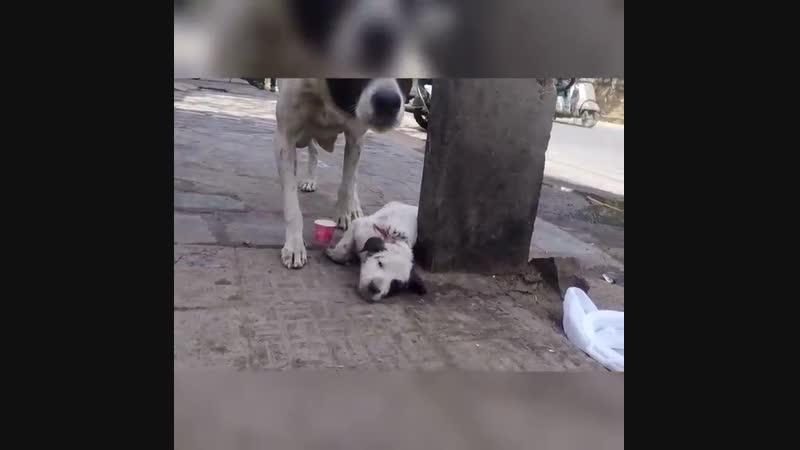 В Индии собака несколько часов выла и звала людей на помощь раненому щенку