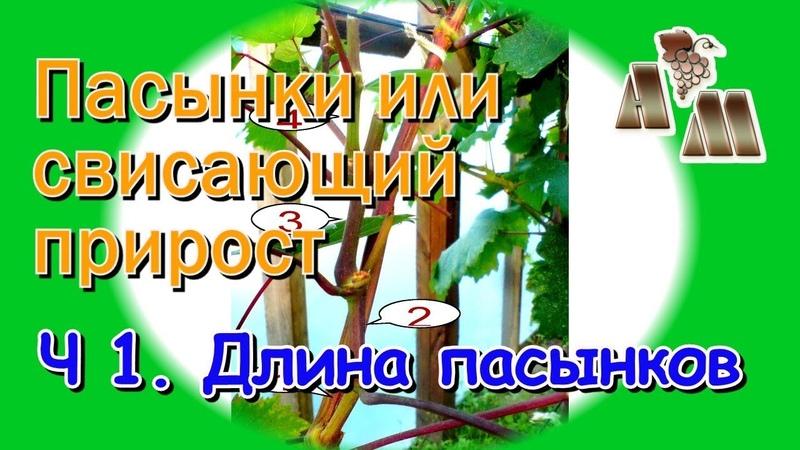 🍇 Длинные пасынки или свисающий прирост винограда Часть 1 - Оптимальная длина пасынков.